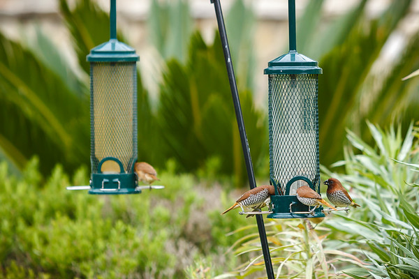 At one point, I counted as many as 13 Scaly-Breasted Munia flocking around our feeder, but most had cleared out by the time I grabbed my DSLR