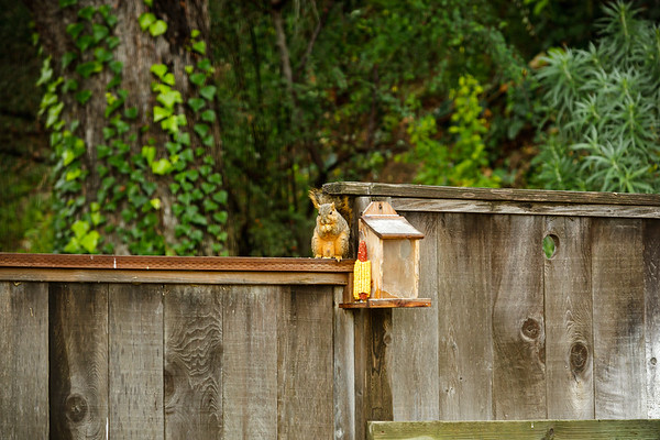 Valerie filled the squirrel's feeders with nuts yesterday...the squirrels emptied it before the end of the day and are now muching away on the corn