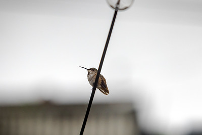 First morning with my Canon EOS 5R and I'm looking to see how much I can push it in conditions I consider far from ideal.  From inside my kicthen, I spot a  hummingbird resting on one of the string light strands in our backyard.  This shot is cropped to the max resolution of the 5D Mark II...which as of now is my backup camera...and I'm using my EF 70-200 F2.8L IS USM, one of my oldest lenses, with the Control Ring Mount Adapter EF-EOS R.  I was trying to shoot manual, but I was fighting auto-ISO and couldn't figure out how to adjust the auto-exposure...so I ended up underexposing a tad.  What isn't giving me any trouble...animal eye auto focus locked on to the tiny bird's eye without hesitation.