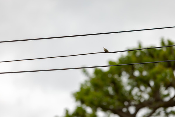 I step outside and find the hummingbird on our cable line...a bit further away, but R5's autofocus immediately locked on to the eye.  This shot is uncropped.