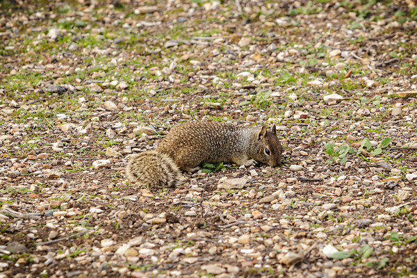 I spot a bunch of squirrels running around Abalone Shoreline Cove Park, but miss an opportunity to film multiples