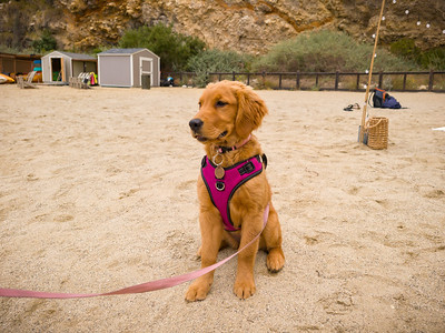 I meet Steven and Caryl's new Golden Pup Daisy