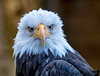 October 6, 2017 - Bald eagle, love the look !