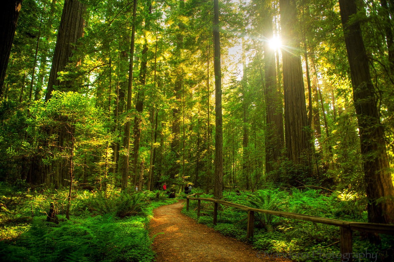August 2, 2013 - A walk in the woods  at Avenue of the Gaints, Redwood National Park