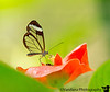 March 28, 2016 - San Jose to Arenal in a 30min flight. <br /> <br /> Visit the butterfly conservancy at Arenal - the wonderful guide there was Jack, born and brought up in East Bay California, went to De La Salle high school here, is a  science teacher, now doing a sabbatical in Costa Rica. Small world ! <br /> <br /> My favorite butterfly among may we saw, was the Glass-winged butterfly, so beautiful, and so difficult to photograph. taken with my new 200-500mm, f5.6, bought fort his trip on Tom Reichert's suggestion, thank you ! such a lovely lens, and yes , superlight for its range. all photos, handheld.