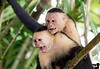 April 2, 2016 - White faced monkeys at Tortuguero National Park, Costa Rica<br /> <br /> Back to San Francisco on a long tiring flight today