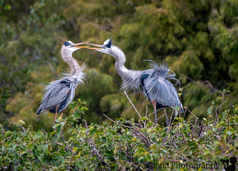 December 26, 2018 - Romance is in the air ! <br /> At Wakodahatchee Wetlands, FL