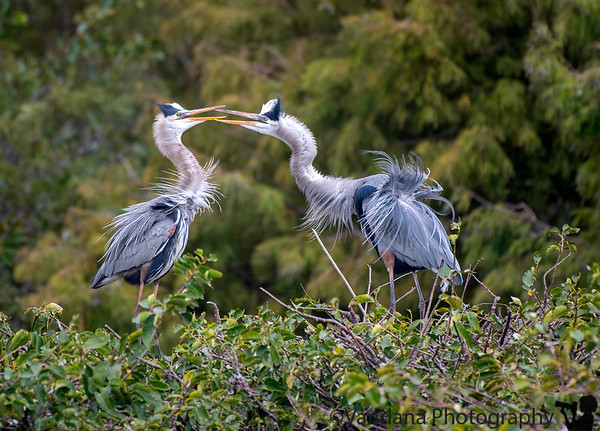December 26, 2018 - Romance is in the air !  At Wakodahatchee Wetlands, FL