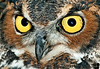 October 16,2011 - The great horned owl - extreme close-up !