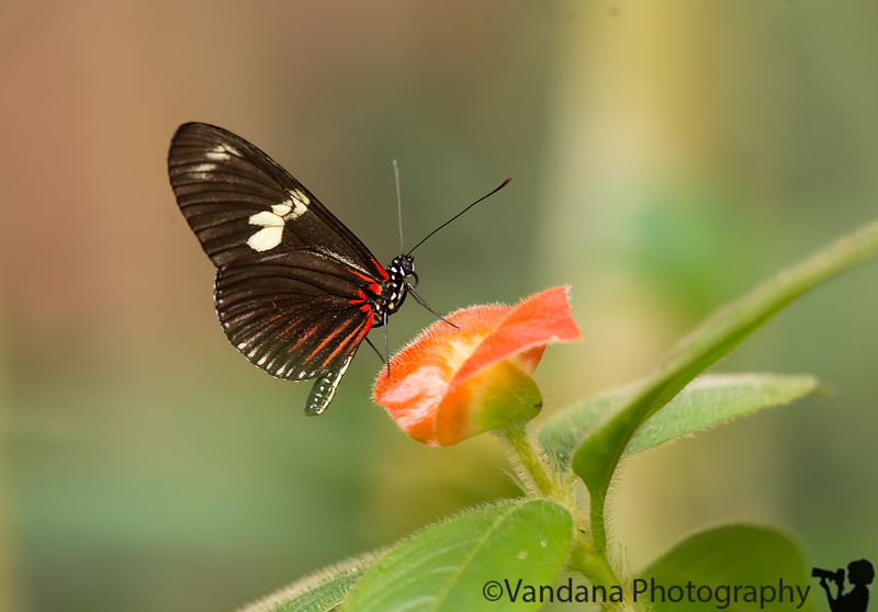 April 16, 2016 - butterfly, at butterfly conservatory, near Arenal volcano, Costa Rica