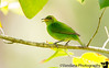 April 14, 2016 - Female green honeycreeper, Costa Rica <br /> <br /> never even heard of these birds before ! so cool to see and photograph them !