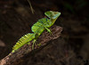 April 7, 2016 - the male basilisk lizard - never seen such a handsome lizard before !<br /> Also called the Jesus Christ lizard 'cause he can walk on water !