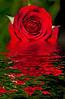 December 1, 2011. The melting rose.