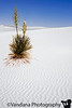 Yucca at White Sands National Monument, New Mexico