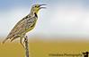 May 20, 2006 - a Western meadowlark making weird noises.