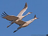 December 25, 2008 - The cranes are flying again ! <br /> At Bosque del apache national wildlife refuge. There are 20,000 snow geese and 6700+ sandhill cranes here this week.