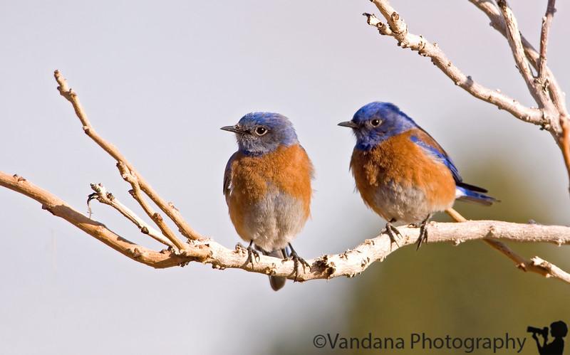 """Jan 27, 2007 - blue bird pair  More bluebirds <a href=""""http://www.vandana.smugmug.com/gallery/1004039"""">here</a>"""