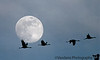 """Jan 1, 2007 - Sandhill crane flight. In Muleshoe National Wildlife refuge,Tx or rather outside of it, since they closed it 'cause of poor roads/weather?  same place where I did the <a href=""""http://www.vandanaphotography.com/popular/24/770355398_gYKr9#108269632_UTGYe"""">sun shot</a> . I had to do them with the moon :)"""