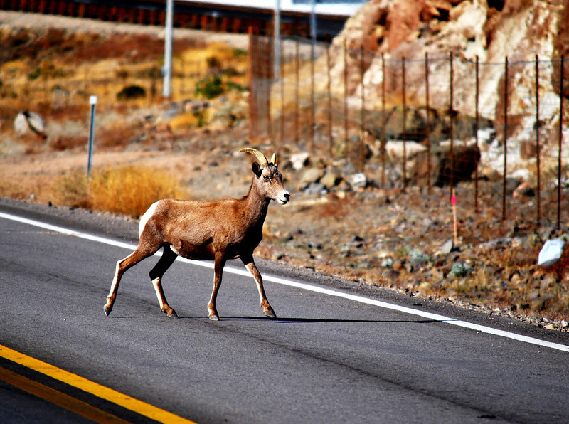 Big Horn Sheep walking across the Highway in Nevada