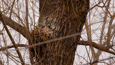 Great Horned Owl On Her Nest