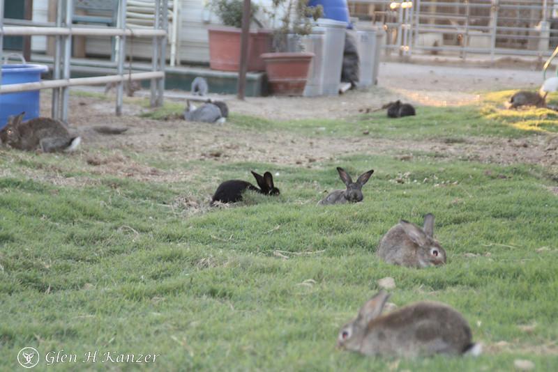 Field of bunnies