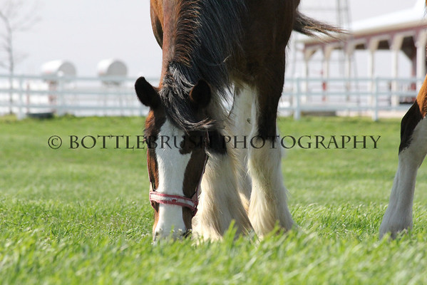 Clydesdale's at Wilke Clydesdale Farm