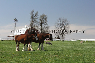 Two Clydesdale's and Burros at Wilke Clydesdale Farm
