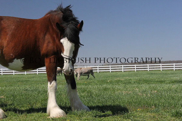 Clydesdale and two Burros at Wilke Clydesdale Farm