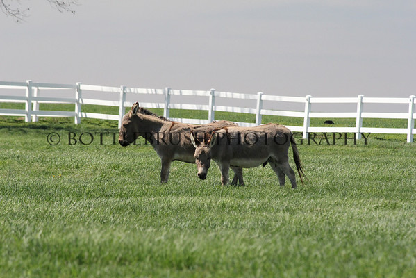 Burros at Wilke Clydesdale Farm