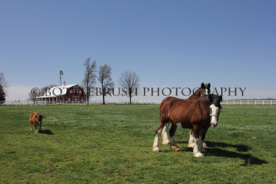 Two Clydesdale's at Wilke Clydesdale Farm