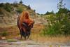 American Bison bull in Theodore Roosevelt National Park near Medora, North Dakota.