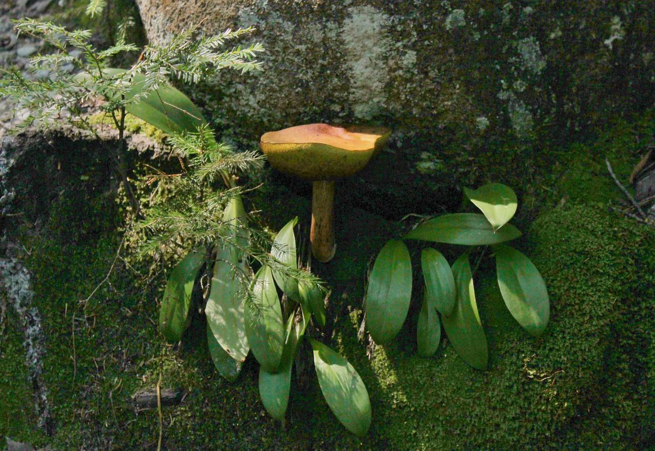 Golden Shrooom