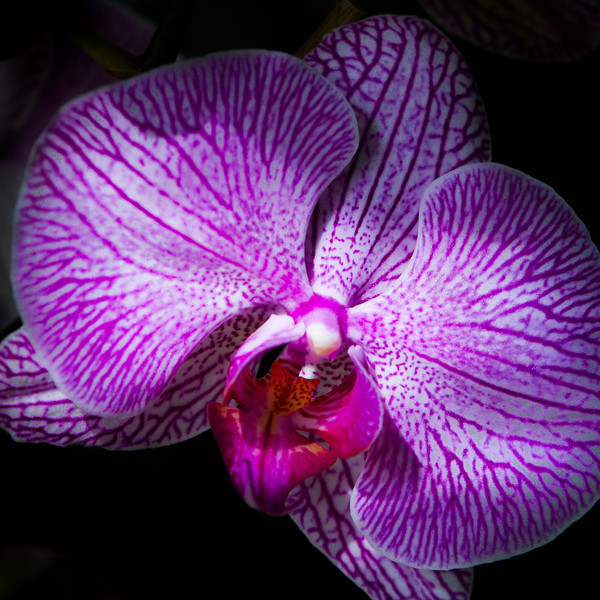 orchid _7427