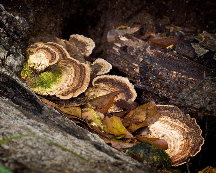 Shelf Fungus in a Dead Tree