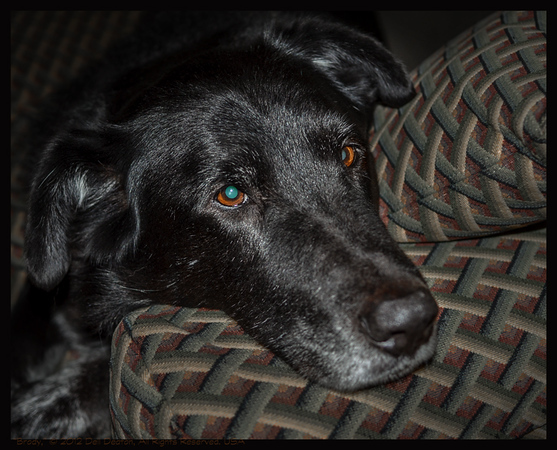 Brody, Lab-mix dog (rescue)