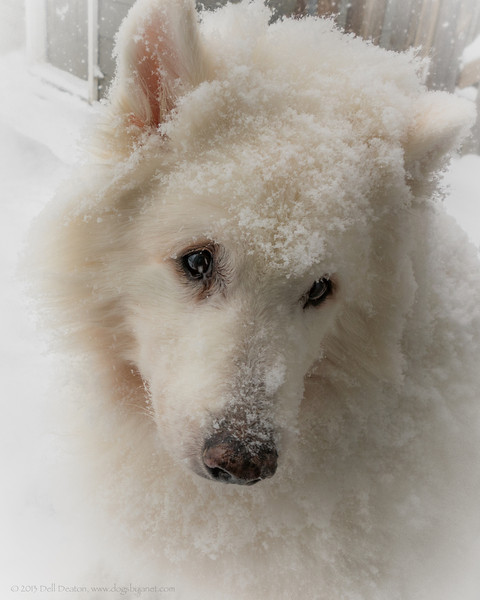 """Timber is shown here just one side or the other of his fifteenth birthday. Still falls asleep in the snow, while it's snowing: I woke him up to take this photograph.  Photographed using Sony RX100 digital camera: 1"""" sensor (13.2mm x 8.8mm), 20.9 megapixels; set to f/5.6 at 1/320-second exposure, ISO 125; available light. Composed for 8 x 10 aspect ratio; raw to jpeg. Processed in Adobe Lightroom 4 and Photoshop Elements 10.  Photographic equipment: Woodward Camera, Birmingham, Michigan  January 21, 2013"""