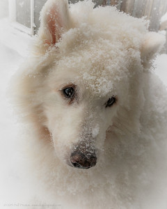 "Timber is shown here just one side or the other of his fifteenth birthday. Still falls asleep in the snow, while it's snowing: I woke him up to take this photograph.  Photographed using Sony RX100 digital camera: 1"" sensor (13.2mm x 8.8mm), 20.9 megapixels; set to f/5.6 at 1/320-second exposure, ISO 125; available light. Composed for 8 x 10 aspect ratio; raw to jpeg. Processed in Adobe Lightroom 4 and Photoshop Elements 10.  Photographic equipment: Woodward Camera, Birmingham, Michigan  January 21, 2013"