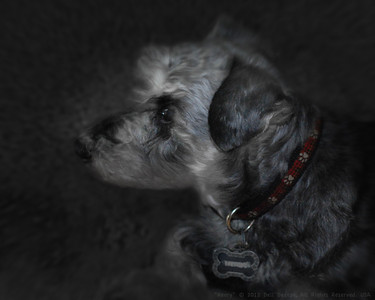 """Henry,"" Schnauzer-mix dog"