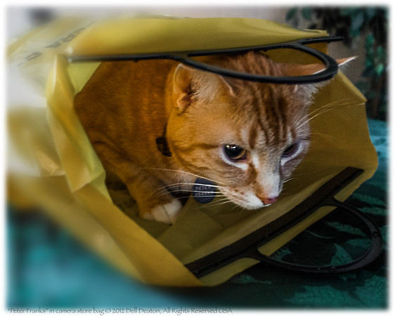 Our tabby cat, Peter Franks: Having taken over a Nikon bag from Norman Camera store