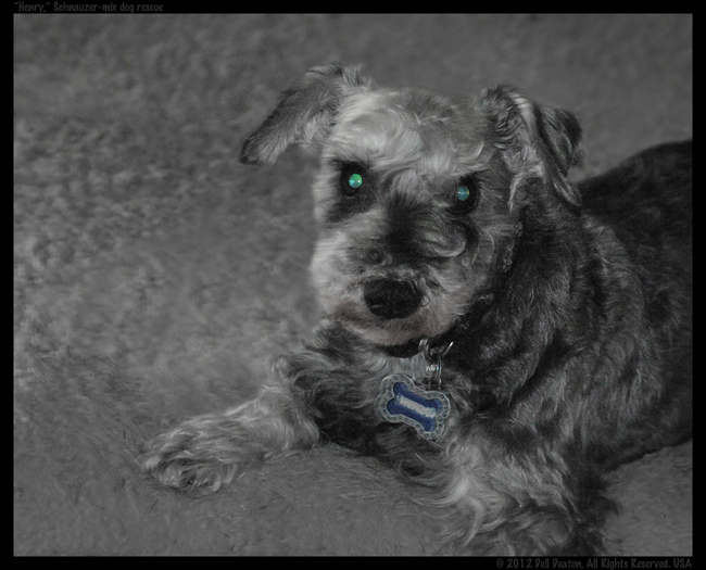 Henry, our Schnauzer-mix rescue dog