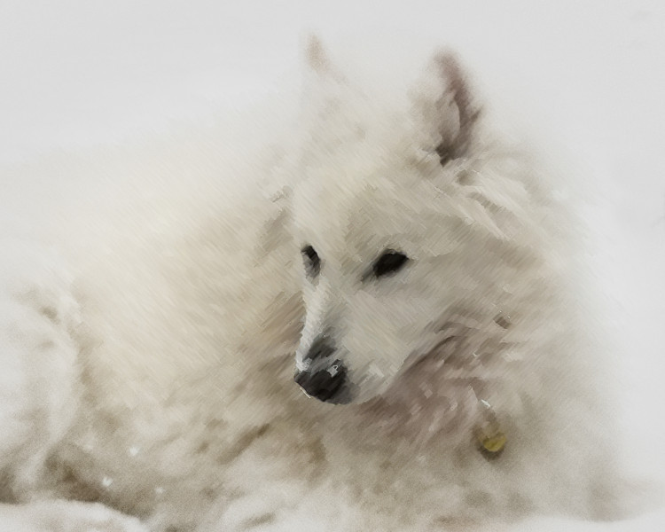 "Our purebred Samoyed dog, ""Timber,"" age 11 (he was born in early 1998). This is his natural habitat; when he was younger, couldn't spend enough time playing and laying in the snow. A few years earlier, he actually fell asleep during precipitation (after thinking I'd lost him in the yard, cleared an inch of accumulation off of him, waking him from sleep to go inside).   Photographed using iPhone 4 smartphone digital camera: 1/3.2"" sensor (4.5mm x 3.4mm), 5 megapixels; set to f/2.8 at 1/1600-second, ISO 80; daylight. Composed for 10 x 8 aspect ratio; jpeg. Processed in Adobe Photoshop Elements 10.  Photographic equipment: AT&T Wireless Store, Ann Arbor, Michigan  January 24, 2010"