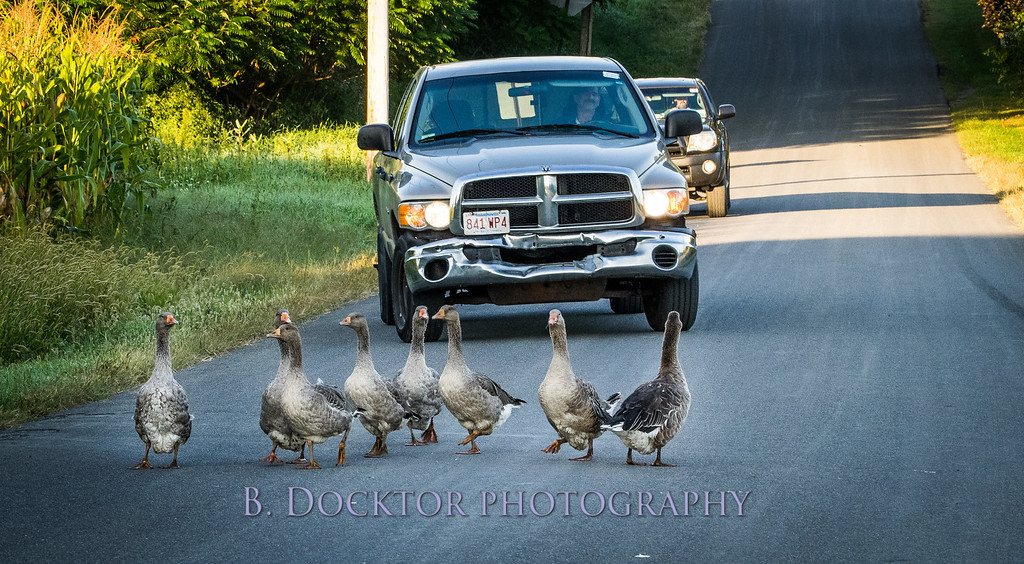 1409_geese in road by Sommerhof farm_001