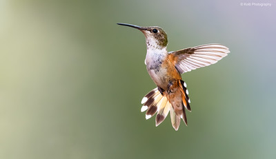 Rufous Backlighting