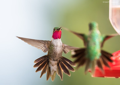 Humming Birds Fight