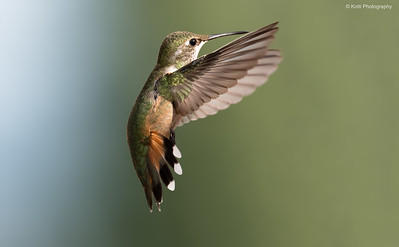 Female Rufous Hummingbird WingSpan