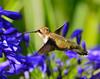 Hummingbird 1 pp