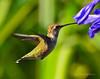 Hummingbird 2 pp
