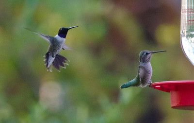 Black-chinned and Anna's Hummingbirds 8-23-13 Jacumba