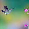 Broad-billed hummingbird, Tucson, AZ
