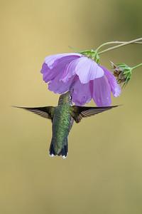 #1752 Ruby-throated Hummingbird